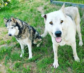 Lake Tahoe Wolf Rescue - Dogs for Adoption Part 1