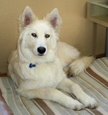 Samoyed Mixed With German Shepherd Lake Tahoe Wolf...
